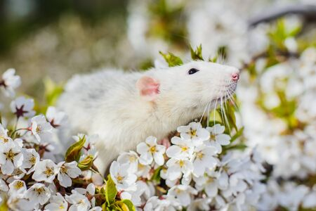 Cute white and grey dumbo fancy rat sitting in gorgeous spring white cherry blossom inhaling floral fragrance. Chinese New year 2020 greeting post card