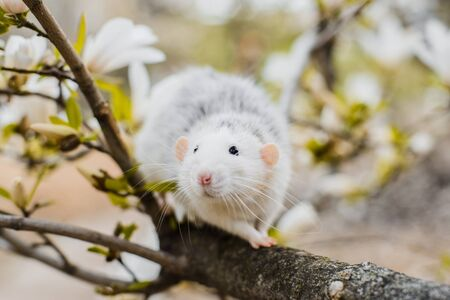 Cute white and grey dumbo fancy rat sitting in gorgeous white magnolia blossom. Chinese New year 2020 greeting post card