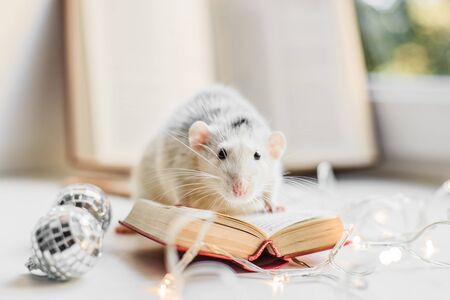 Cute white and grey fancy rat reading small book in cozy garland lights Stock Photo