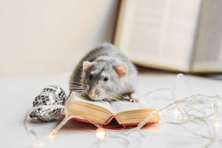 Cute grey fancy rat reading small book in cozy garland lights Stock Photo