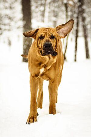 Funny face wrinkly Fila Brasileiro Dog (Brazilian Mastiff) having fun in snow, winter scene Stock fotó
