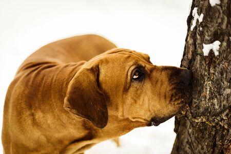 Curious Fila Brasileiro (Brazilian Mastiff) close-up portrait, looking up the tree Stok Fotoğraf