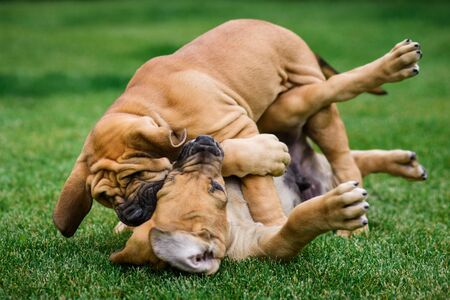 Two Fila Brasileiro (Brazilian Mastiff) puppies playing on the grass Imagens