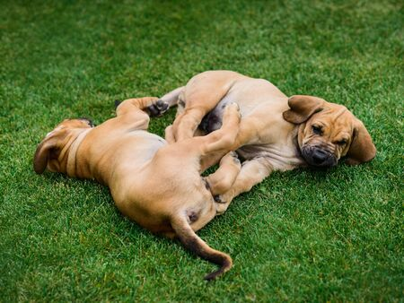 Two Fila Brasileiro (Brazilian Mastiff) puppies playing on the grass Stockfoto