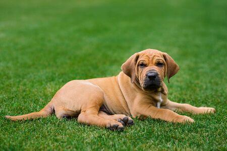 Cute Fila Brasileiro (Brazilian Mastiff) puppy lying on grass