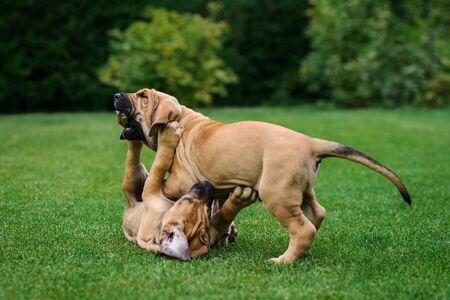 Two Fila Brasileiro (Brazilian Mastiff) puppies playing on the grass 写真素材