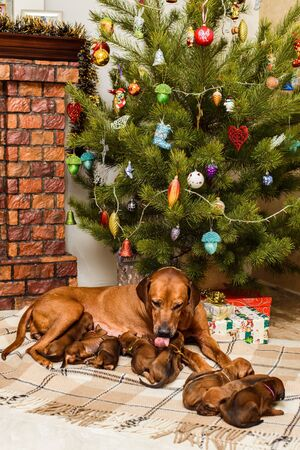 Mother dog and her nine cute newborn rhodesian ridgeback puppies in front of fireplace and decorated christmas tree Stock Photo - 132235402