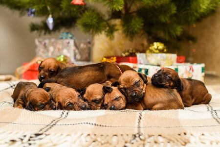 Eight cute newborn rhodesian ridgeback puppies sleeping  in front of decorated christmas tree and New Year gifts