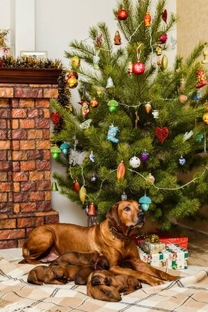 Mother dog and her nine cute newborn rhodesian ridgeback puppies in front of fireplace and decorated christmas tree