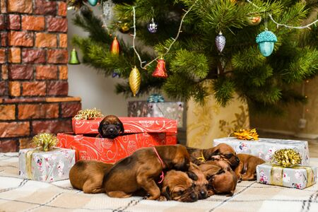 Nine cute newborn rhodesian ridgeback puppies sleeping  in front of decorated christmas tree and New Year gifts Imagens