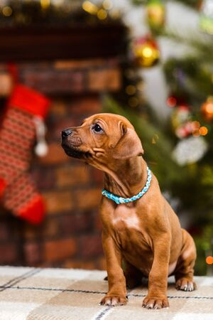 Cute rhodesian ridgeback puppy on decorated green christmas tree and fireplace with socks background, new year decoration lights
