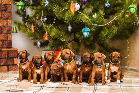 Eight cute rhodesian ridgeback puppies sitting in front of decorated christmas tree and New Year gifts Imagens