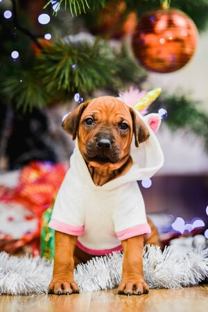 Cute rhodesian ridgeback puppy wearing unicorn carnival costume with christmas tree and gifts on background Imagens