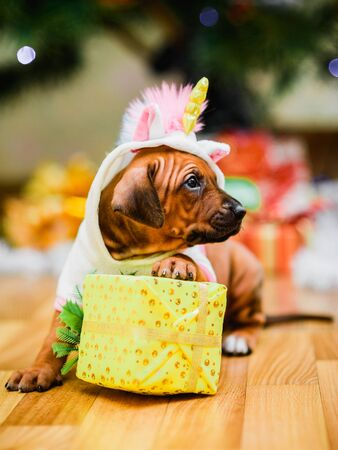 Cute rhodesian ridgeback puppy wearing unicorn carnival costume holding present, christmas tree on background