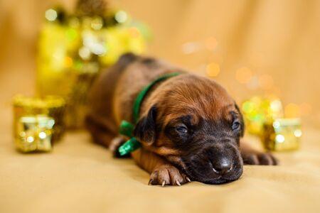 Cute sleepy newborn rhodesian ridgeback puppy just opened eyes, christmas gifts on background, lights in bokeh