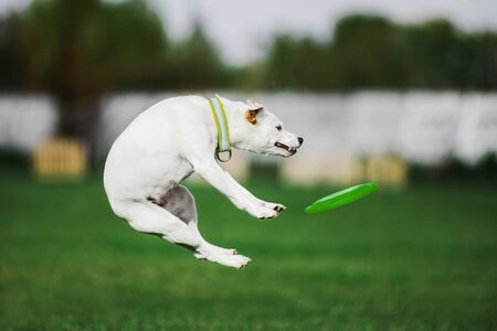 parson russell terrier jumping high catching flying disk, summer outdoors dog sport competition