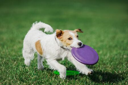 parson russell terrier catching flying disk, summer outdoors dog sport competition