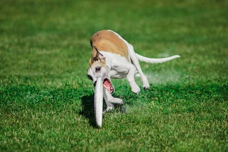 funny face english whippet running for rolling flying disk trying to catch it, open mouth, summer outdoors dog sport competition