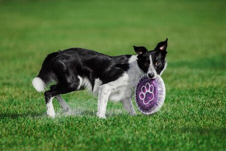 border collie with a flying disk on green grass, summer outdoors dog sport competition