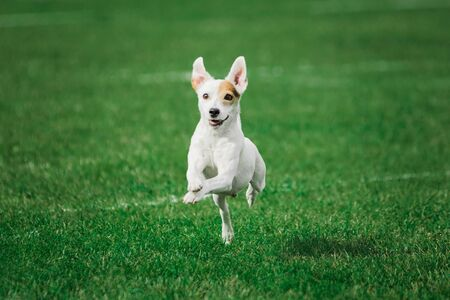 parson russell terrier ready to jump high to catch flying disk, summer outdoors dog sport competition