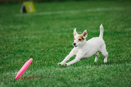 funny face parson russell terrier running for rolling flying disk trying to catch it, open mouth, summer outdoors dog sport competition Imagens