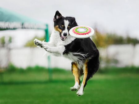 funny face excited australian shepherd jumping high catching flying disk, open mouth, summer outdoors dog sport competition