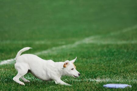 funny face parson russell terrier running for flying disk trying to catch it, open mouth, summer outdoors dog sport competition, copy space