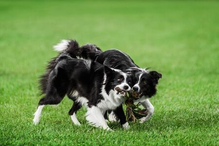 two funny face border collie playing pulling tug cotton rope toy with knots on summer green grass