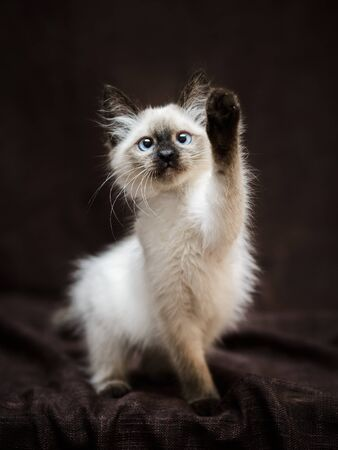 Portrait of adorable curious playful Siamese fluffy kitten on dark brown textile background, looking up ready to catch something