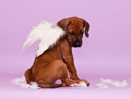 Cute rhodesian ridgeback puppy dog sitting backwards on violet background, showing its ridge, wearing white angel wings Stock Photo