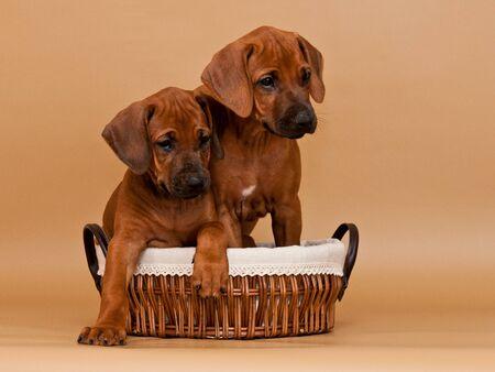 Two funny rhodesian ridgeback puppies sitting in wicker basket on beige background Stock Photo