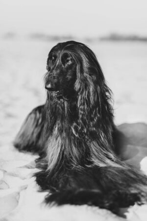 Black and white portrait of Afghan Hound lying on sand in desert