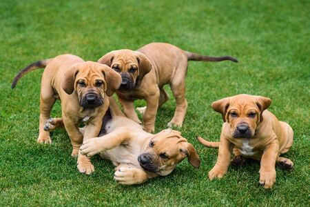 Four Fila Brasileiro (Brazilian Mastiff) puppies playing on the grass Imagens