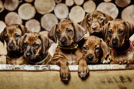 Group of six 6 rhodesian ridgeback puppies dogs sitting in raw in wood box on wooden background of dry chopped firewood logs stacked up on top of each other in a pile