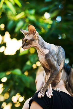 cute spotty hairless sphynx cat sitting on girls shoulder