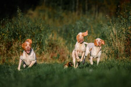 Three funny face Bracco Italiano pointer hunting dogs fowling pheasant, ears fluttering in wind, summer evening shot Standard-Bild