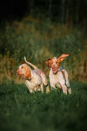 Two funny face Bracco Italiano pointer hunting dogs fowling, ears fluttering in wind, summer evening shot