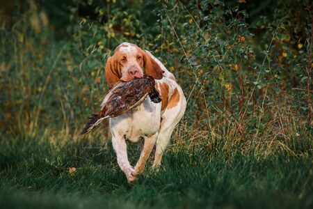 Beautiful Bracco Italiano pointer dog carrying hunted pheasant in mouth, summer evening