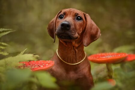 Cute rhodesian ridgeback puppy dog close up portrait among toxic red Amanita mushrooms in forest