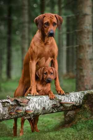 Cute rhodesian ridgeback adult dog and its puppy leaning on fallen pine tree in forest. Puppy between adult legs. Mother and child.