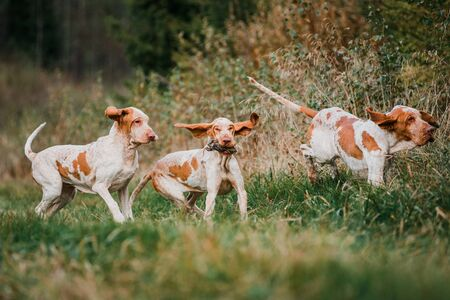 Three funny face Bracco Italiano pointer hunting dogs fowling partridge, ears fluttering in wind, summer evening shot Standard-Bild