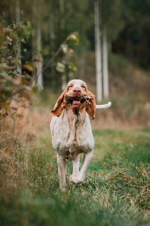 Beautiful Bracco Italiano pointer dog carrying hunted bird fowl in mouth