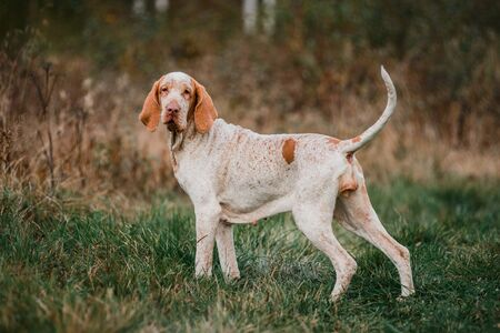 Beautiful Bracco Italiano pointer hunting dog standing in grass fowling, summer evening