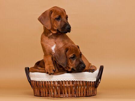 Two funny rhodesian ridgeback puppies sitting in wicker basket on beige background