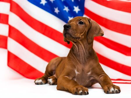cute rhodesian ridgeback puppy posing in front of american usa flag on Independence Day 免版税图像