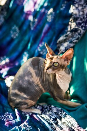 aggressive spotty hairless sphynx cat ready to attack Reklamní fotografie