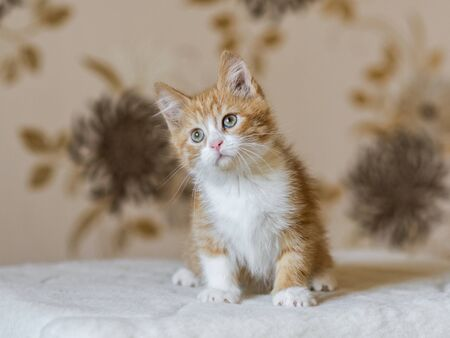Portrait of adorable playful red orange fluffy kitten at home