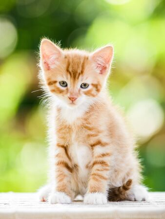 Portrait of adorable playful red orange fluffy kitten on sunny summer nature background Standard-Bild