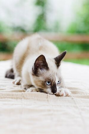 Close up portrait of cute white and gray kitten cat looking for catch Standard-Bild