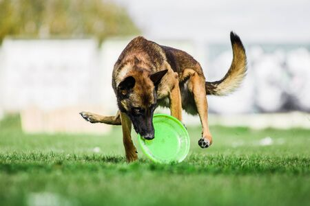 Malinois Belgian Shepherd catched flying disk, summer outdoors dog sport competition